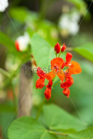 Цветы бобов