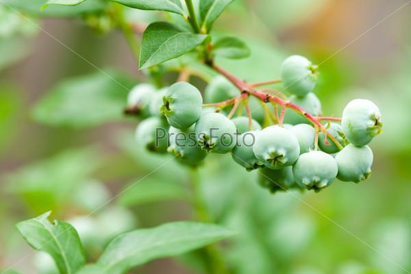 Зеленая брусника на кусте