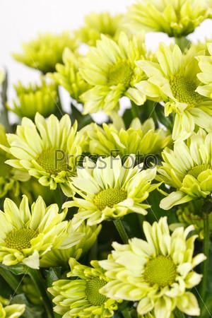 Фотография на тему Хризантемы