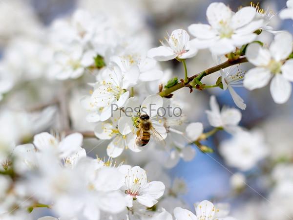 Пчела на цветке вишни крупным планом