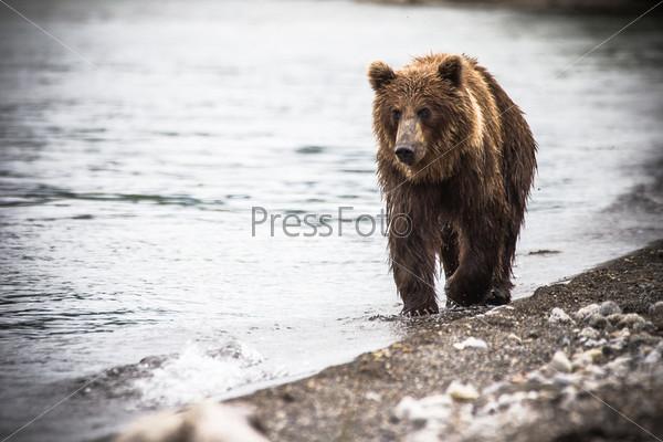 Фотография на тему Бурый медведь рыбачит