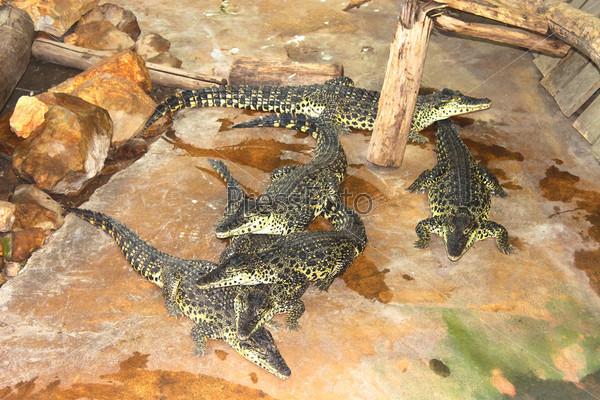 Фотография на тему Несколько крокодилов в вольере на ферме
