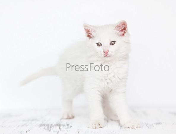 Фотография на тему Белый котенок