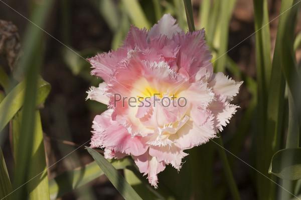 Декоративный розовый тюльпан на клумбе