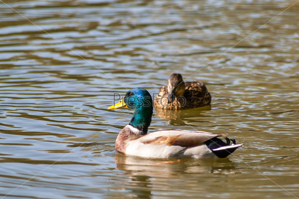Утка плавает в пруду