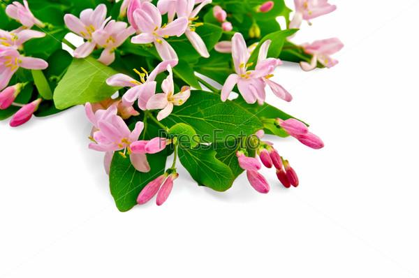 Жимолость с розовыми цветами