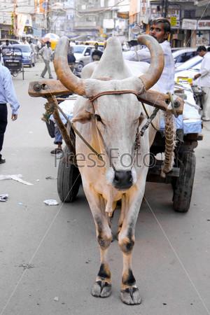 Корова, запряженная в повозку