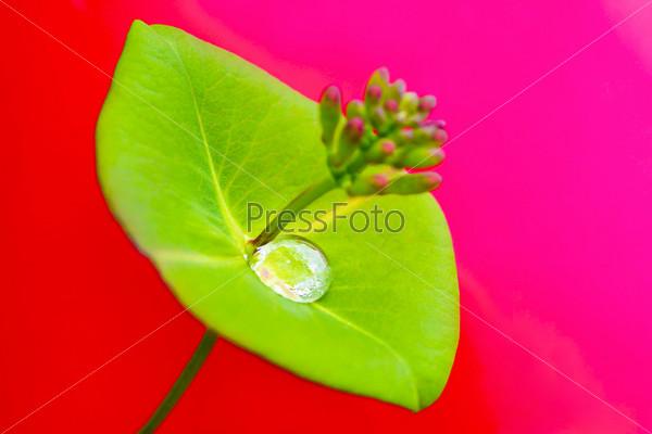 Капля дождя на листе декоративной жимолости