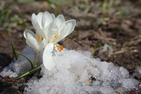 Фотография на тему Белые крокусы на снегу