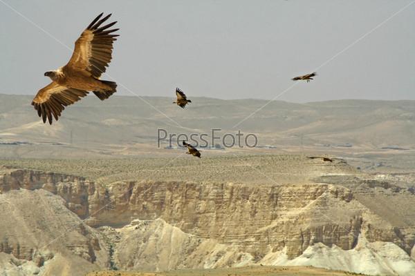 Парящий стервятник, пустыня Седе-Бокер, Израиль