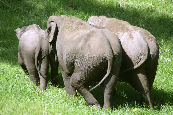 Фотография на тему Небольшое стадо слонов, Южная Индия