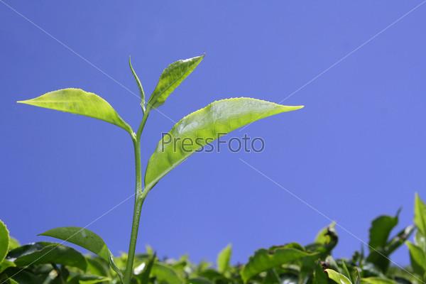 Фотография на тему Чайный лист на плантации в Муннаре, Керала, Индия