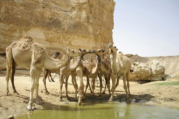 Верблюды пьют в пустыне Седе-Бокер, Израиль