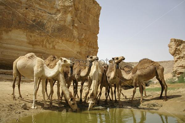 Фотография на тему Верблюды пьют в пустыне Седе-Бокер, Израиль