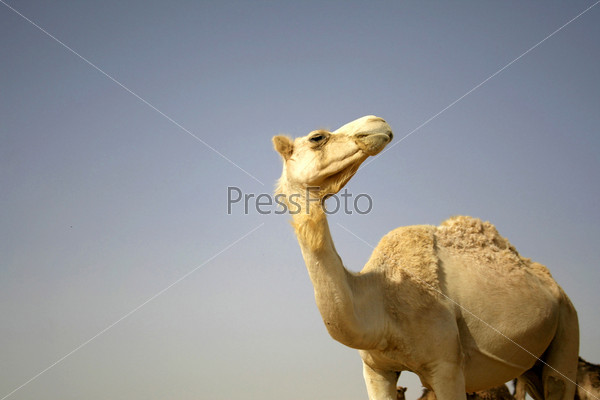 Верблюд в пустыне Седе-Бокер, Израиль