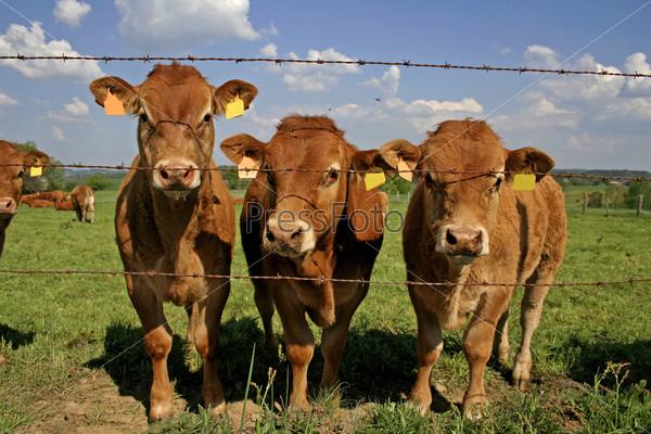 Фотография на тему Стадо любопытных коров