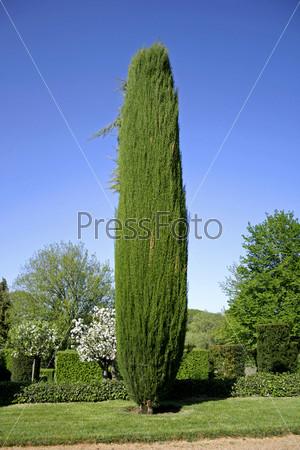 Кипарис в саду Эйриньяк, Франция