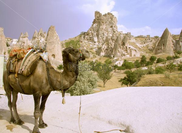 Фотография на тему Верблюд в Турции