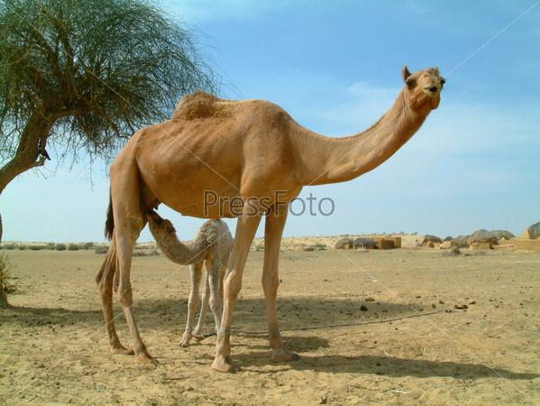 Верблюжонок пьет молоко матери в пустыне в Индии