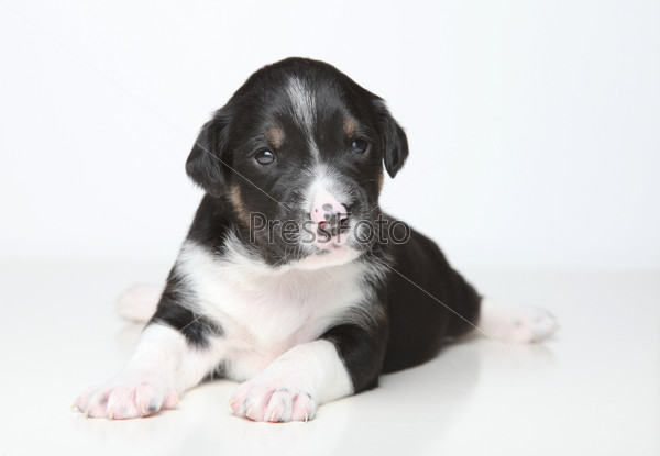 Черно-белый щенок