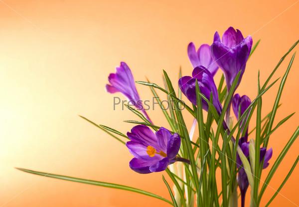 Фотография на тему Примулы. Крокусы