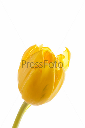 Фотография на тему Тюльпан