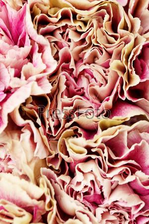 Красивые цветы гвоздики
