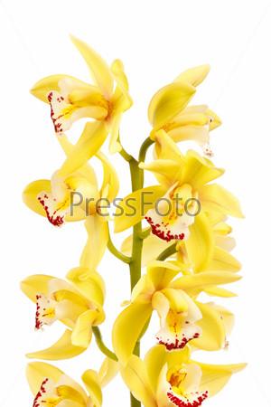 Орхидея, изолированная на белом фоне