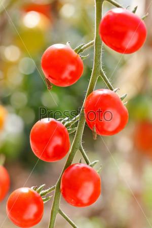 Фотография на тему Садовые помидоры