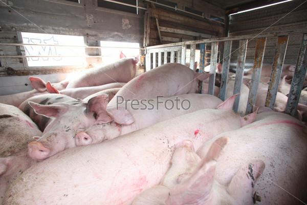 Свиньи в транспорте