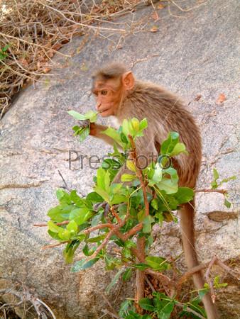 Детеныш обезьяны ест листья кустарника, Хампи, Индия