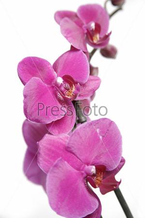 Фотография на тему Фиолетовая орхидея