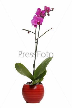 Орхидея в красной вазе