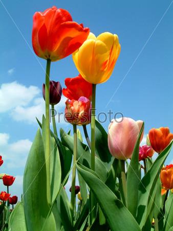 Фотография на тему Тюльпаны на фоне неба