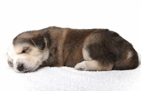 Маленький спящий щенок