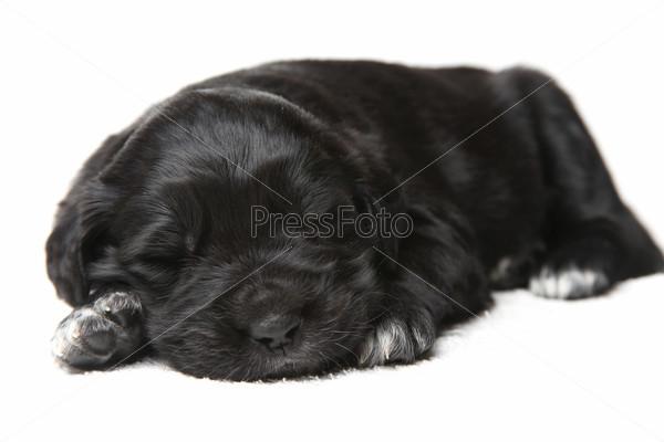 Маленький черный щенок