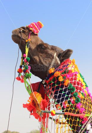 Фотография на тему Наряженный верблюд во время фестиваля в  Пушкаре, Индия
