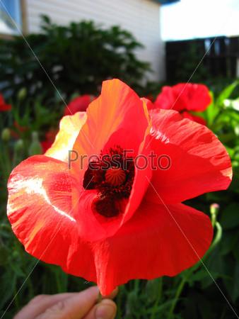 Красивый цветок красного мака