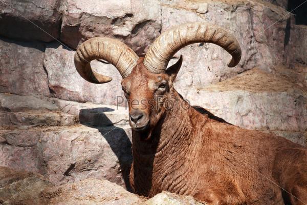 Кавказский козел