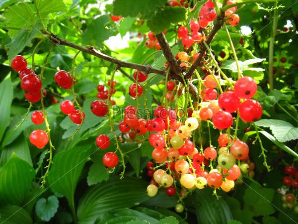 Фотография на тему Ягоды красной смородины