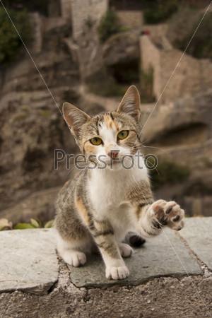 Фотография на тему Дикий средиземноморский кот дает лапу