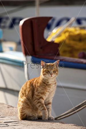 Дикий средиземноморский кот на причале