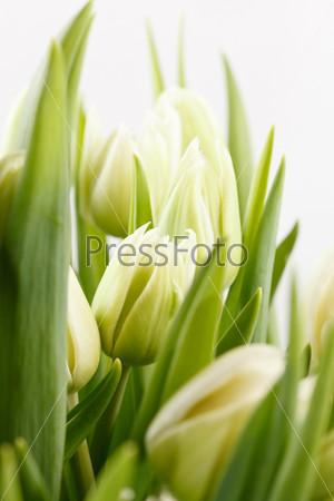 Фотография на тему Зеленые тюльпаны