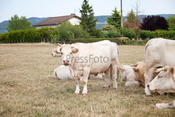 Белые коровы на лугу