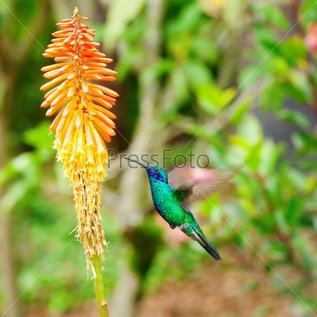 Фотография на тему Красивая сине-зеленая колибри летает над оранжевым тропическим цветком книпхофия