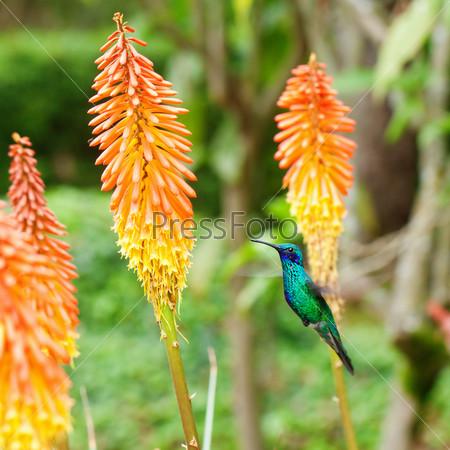 Красивая сине-зеленая колибри летает над оранжевым тропическим цветком книпхофия