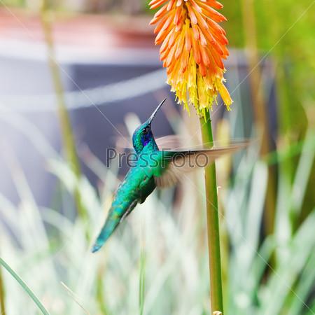 Красивый сине-зеленый колибри летит над тропическим оранжевым цветком книпхофия