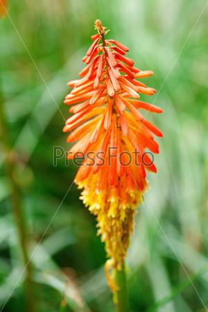 Фотография на тему Красивый оранжевый тропический цветок книпхофия