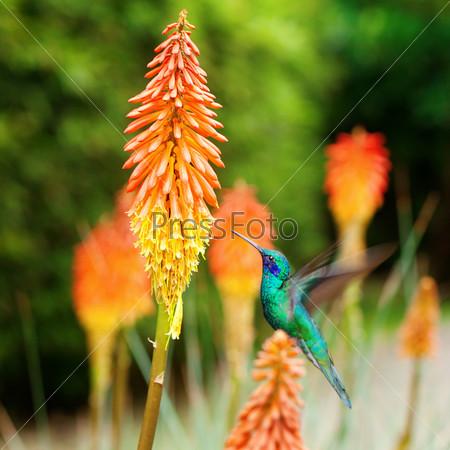 Фотография на тему Красивый сине-зеленый колибри летит над тропическим оранжевым цветком книпхофия