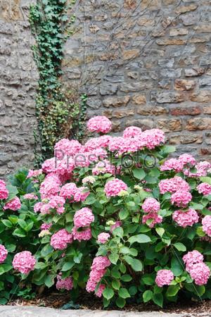 Фотография на тему Цветущие розовые гортензии